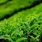 Planta ceai verde